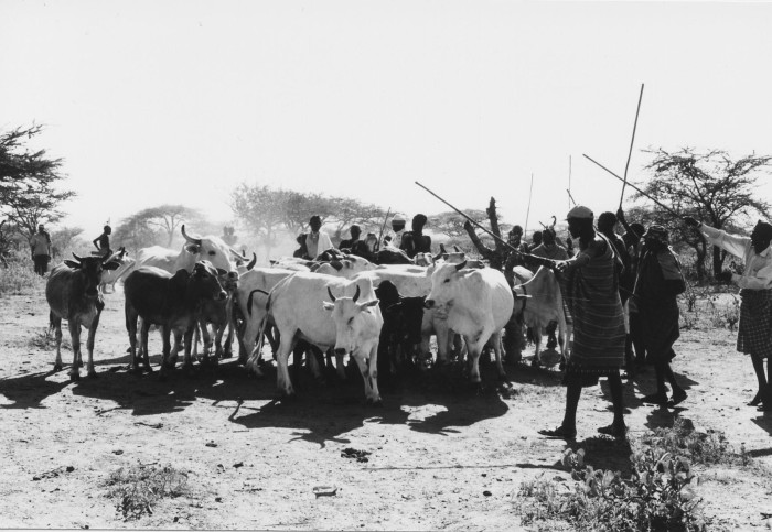 Cattle in the boma